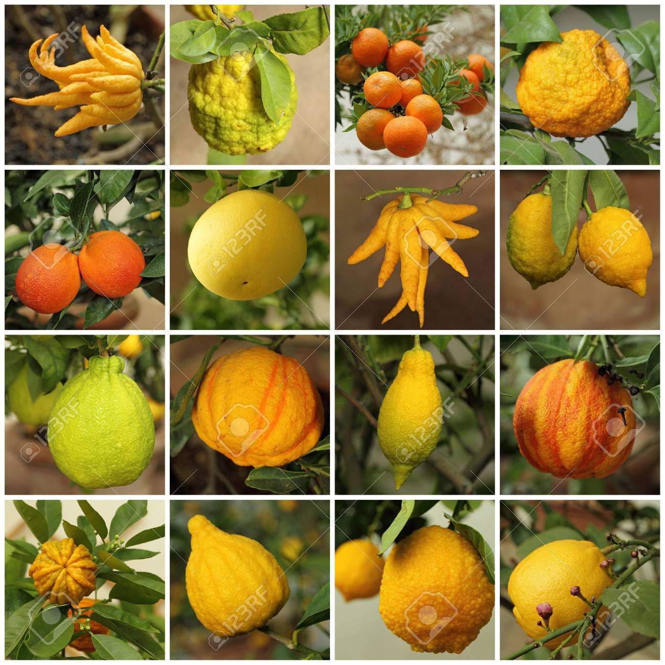 collage with images of various citrus fruits growing in historic