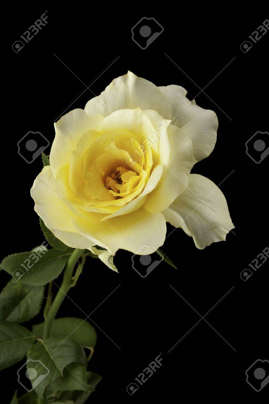 a yellow rose bud flower bloom isolated against a black background