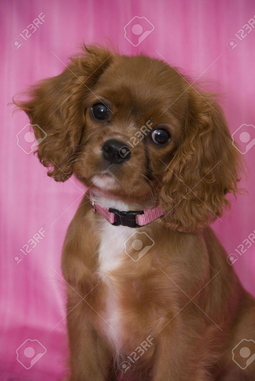 Adorable Ruby Cavalier King Charles Spaniel Puppy Wearing A Pink Stock Photo Picture And Royalty Free Image Image 3560427