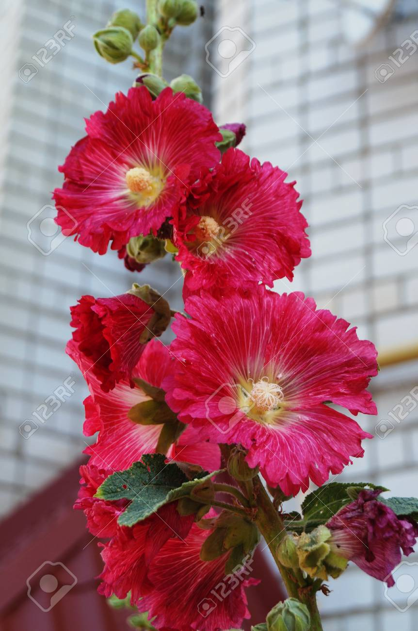 Malva With Red Flowers And A Yellow Center On A Branch With Green