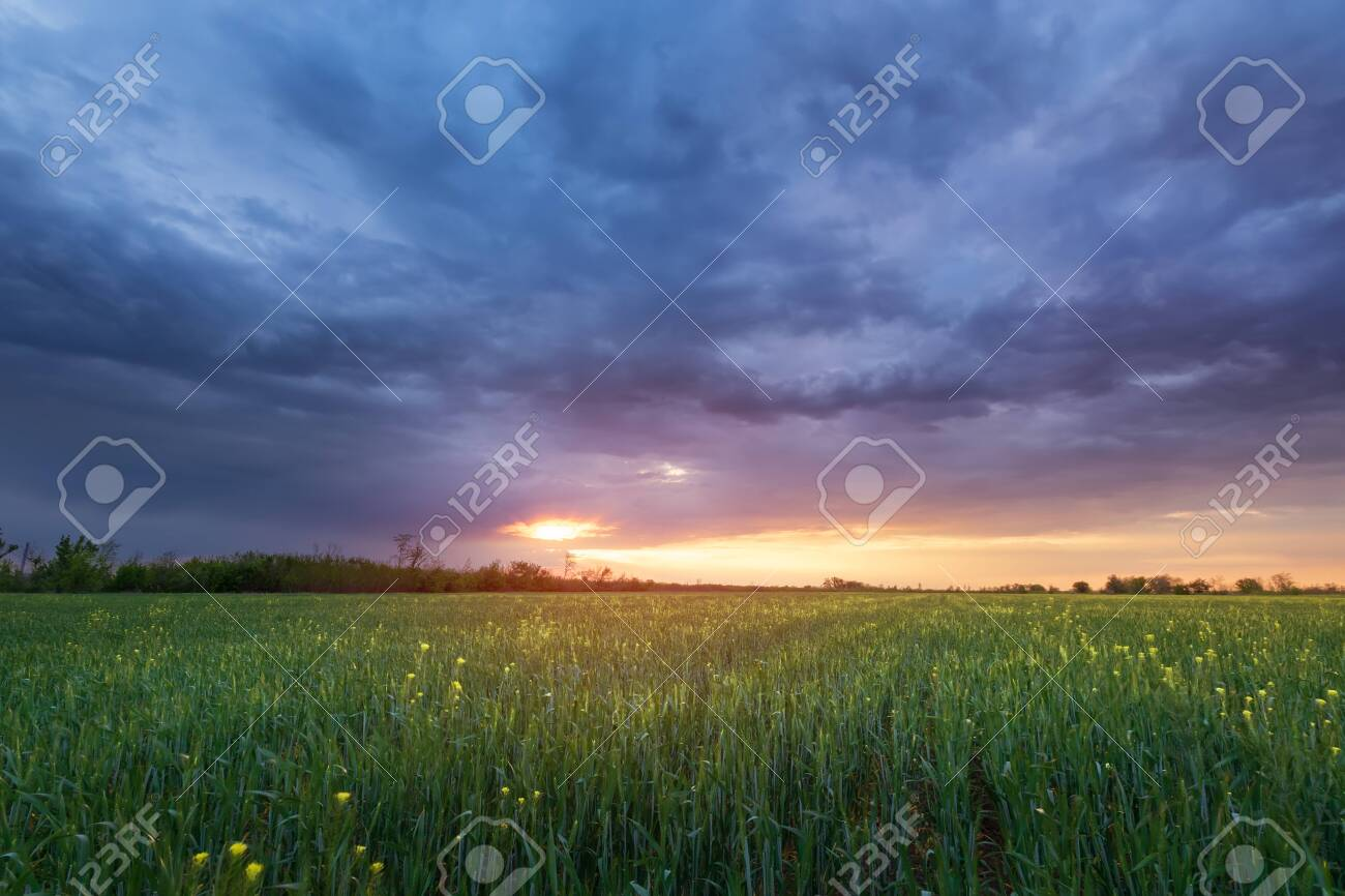 wheat sunset / agriculture wheat field during sunset - 147623992