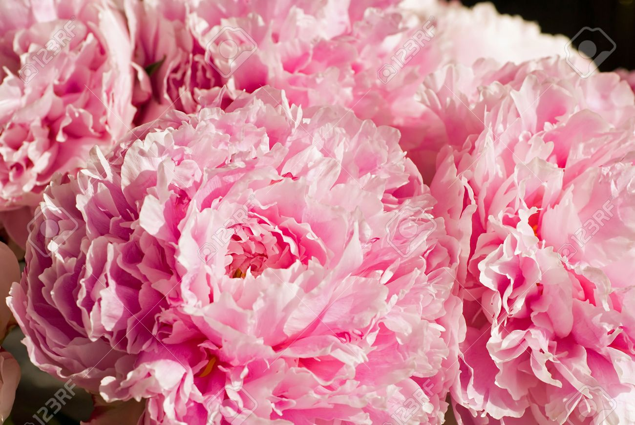 Pretty pink peonies make a lush bouquet of flowers stock photo pretty pink peonies make a lush bouquet of flowers stock photo 1164501 dhlflorist Images