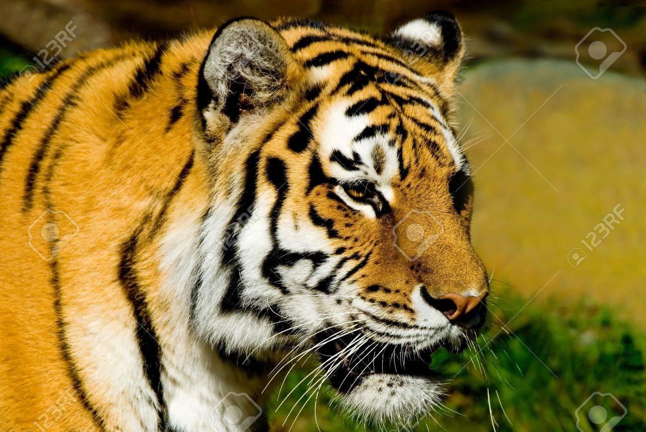 Majestic looking Siberian Tiger at the San Francisco zoo. Stock Photo - 2276186