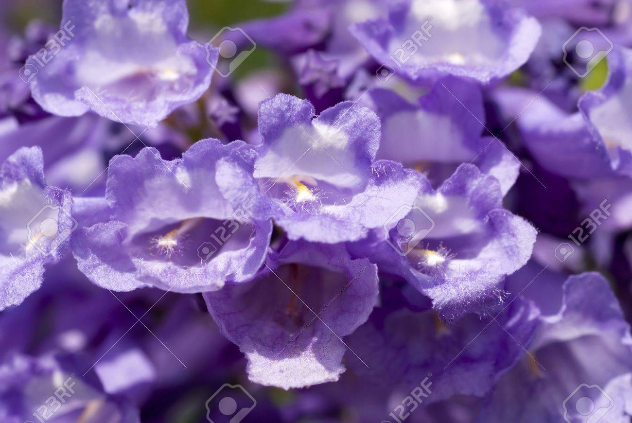 Pretty purple flowers on a mesquite tree stock photo picture and pretty purple flowers on a mesquite tree stock photo 8240320 mightylinksfo