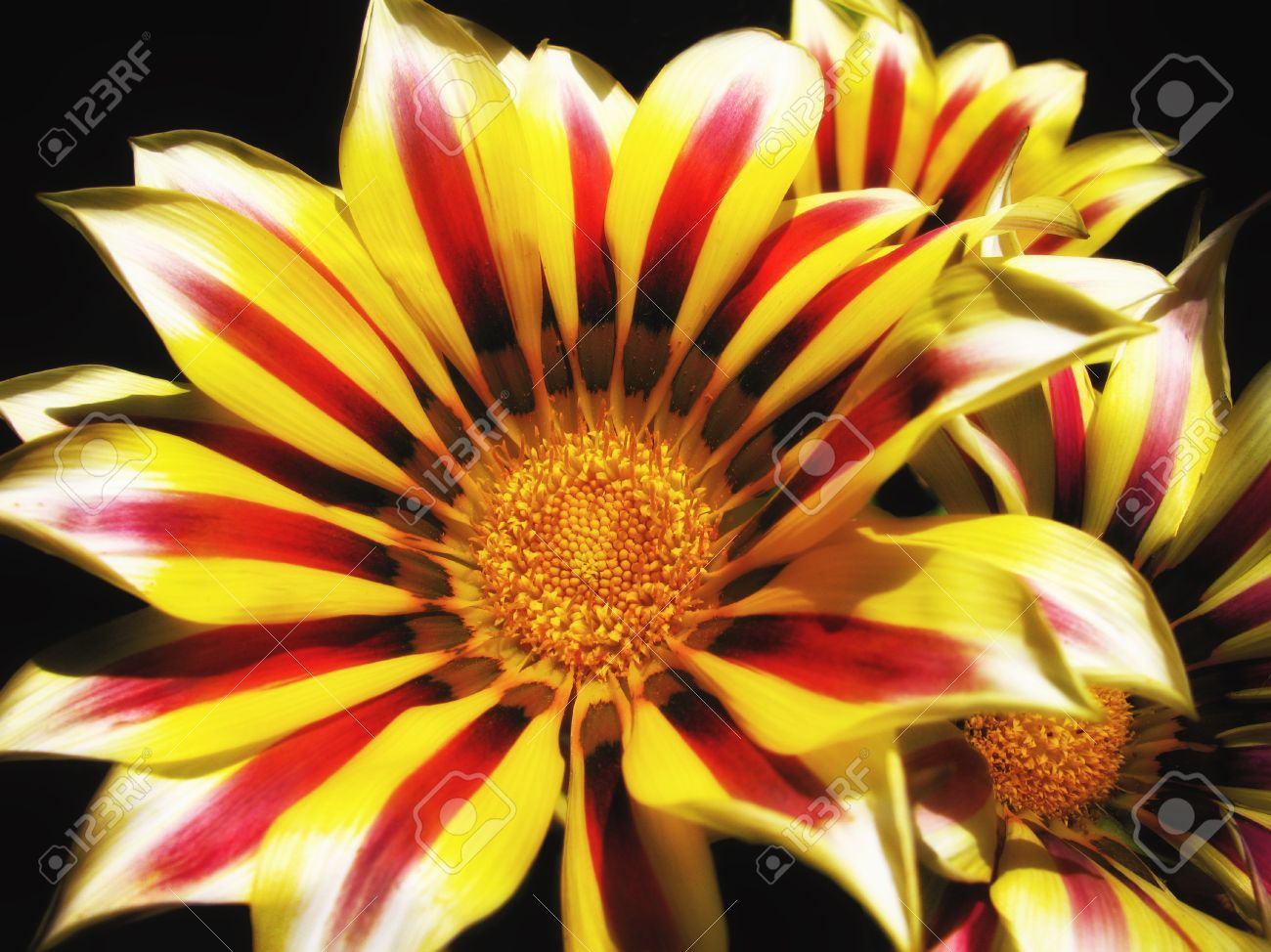 A Bunch Of Bright Pretty Gazania Flowers Some Kind Of Cousin