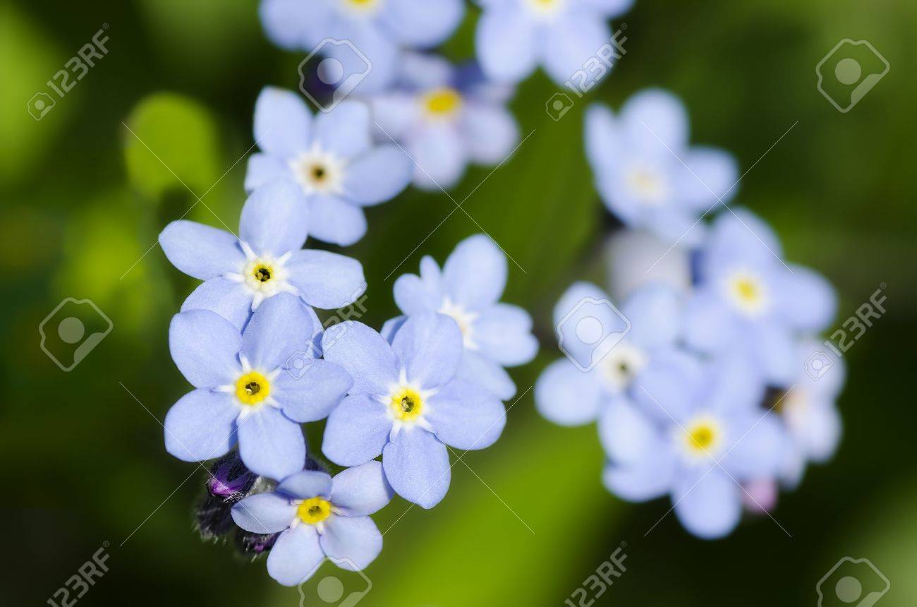 Very Pretty Small Blue Flowers A Sprig Of Forget Me Not Stock