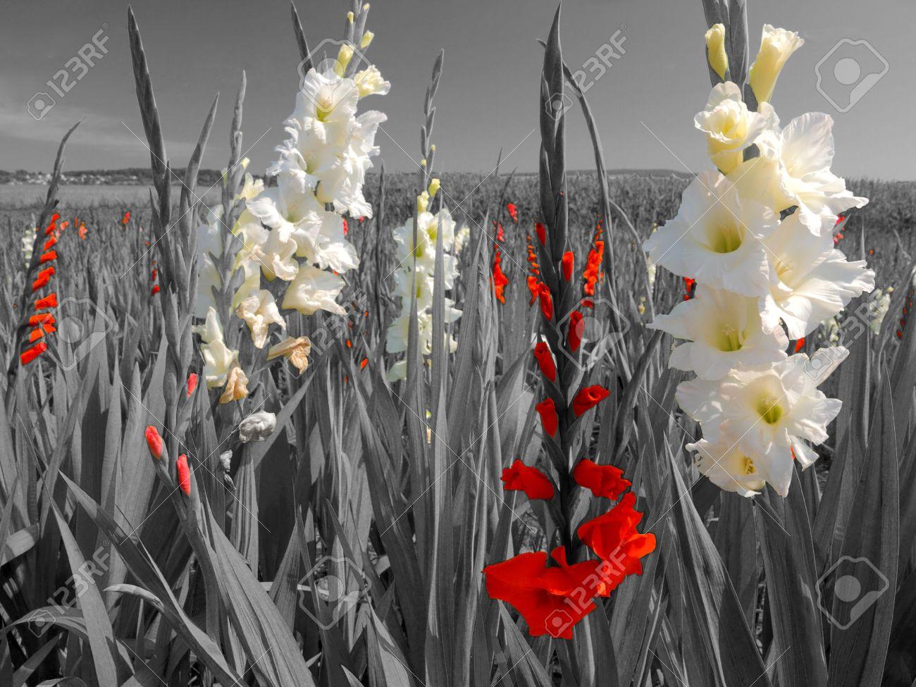 Banque dimages , fleurs de fleur blanche et rouge vif dans un paysage en noir et blanc.