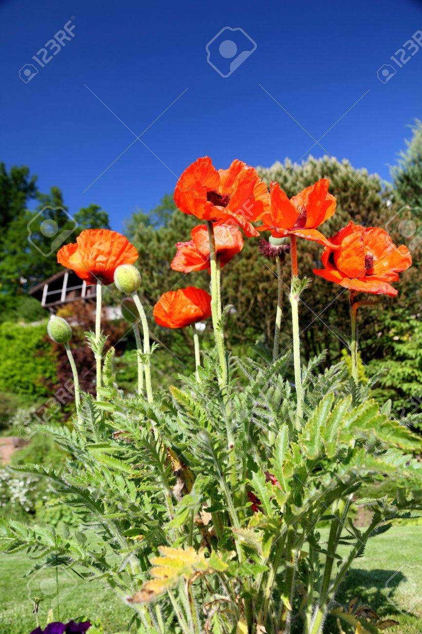Shiny red poppy flower plant blossoming flower in the garden stock shiny red poppy flower plant blossoming flower in the garden stock photo 7923449 dhlflorist Images