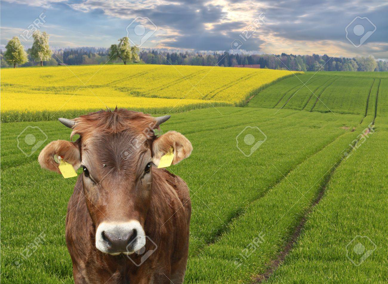 cow looks into camera in front of beautiful sweeping  fields, concept for agriculture business Stock Photo - 9618575