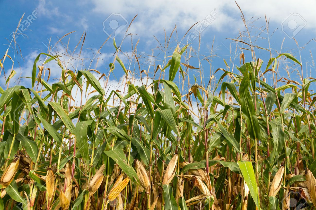 single ripe yellow cob of corn on a cornfield with a blue summer sky Stock Photo - 10549043