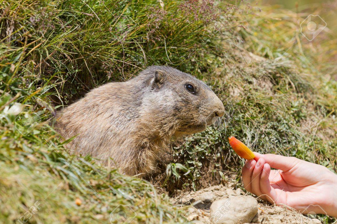 groundhog sitting in front of it s den a hand feeding it carrot