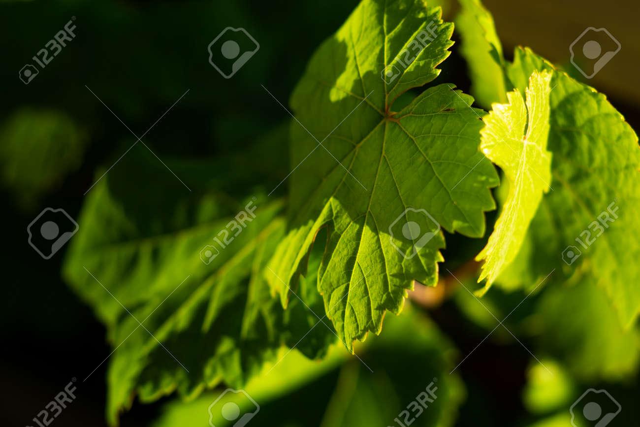 green wine leaves in detail - 153581673