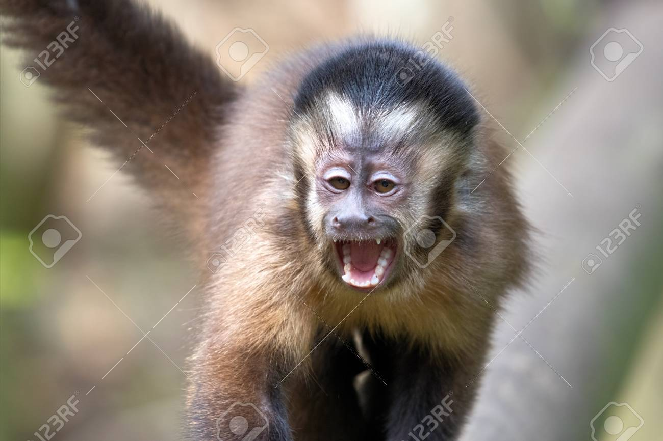 Black Capuchin Monkeys In South Africa Stock Photo, Picture