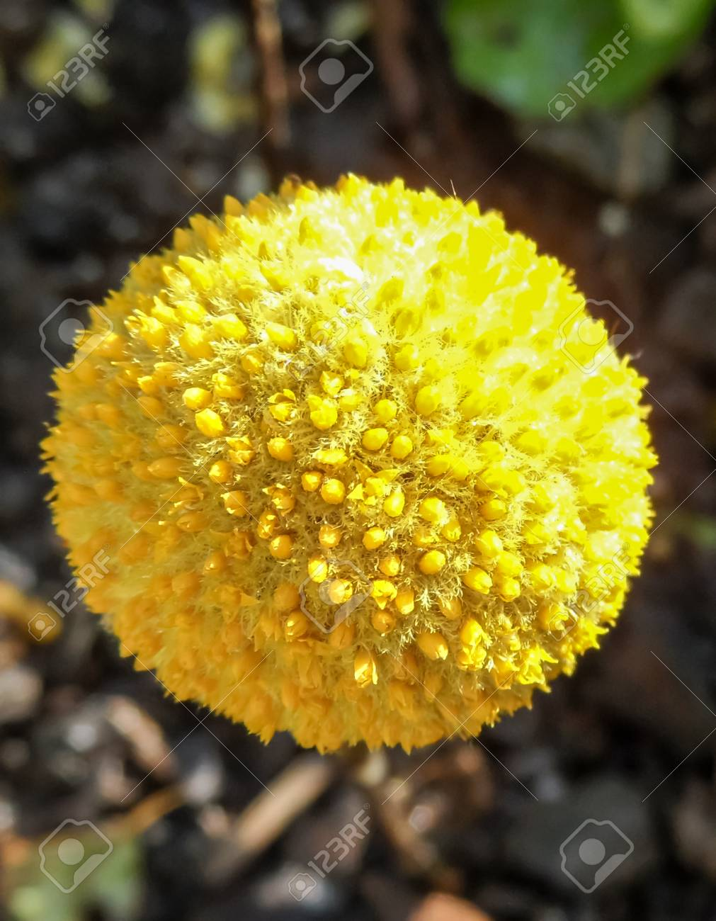 Craspedia Yellow Ball Head Stock Photo Picture And Royalty Free