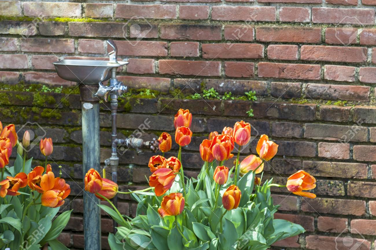 A Water Fountain At A Local Botanical Garden Surounded By Orange Tulips.  Stock Photo