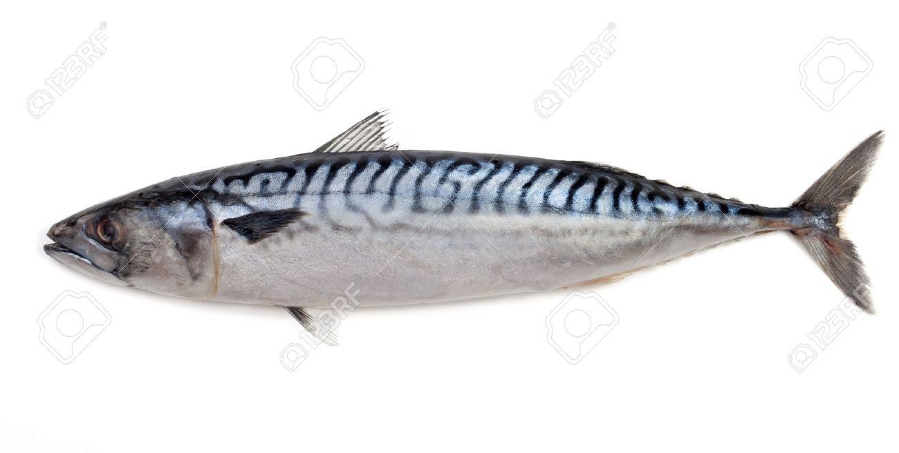 Mackerel on a white background - 11696262