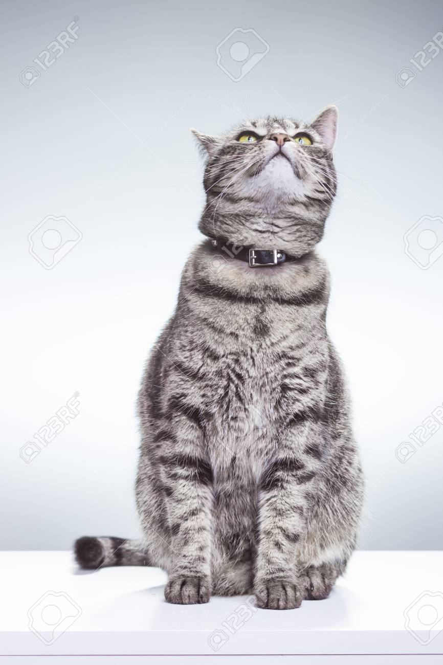 Beautiful cat sitting, looking above / up. White background, studio shot. - 59212363