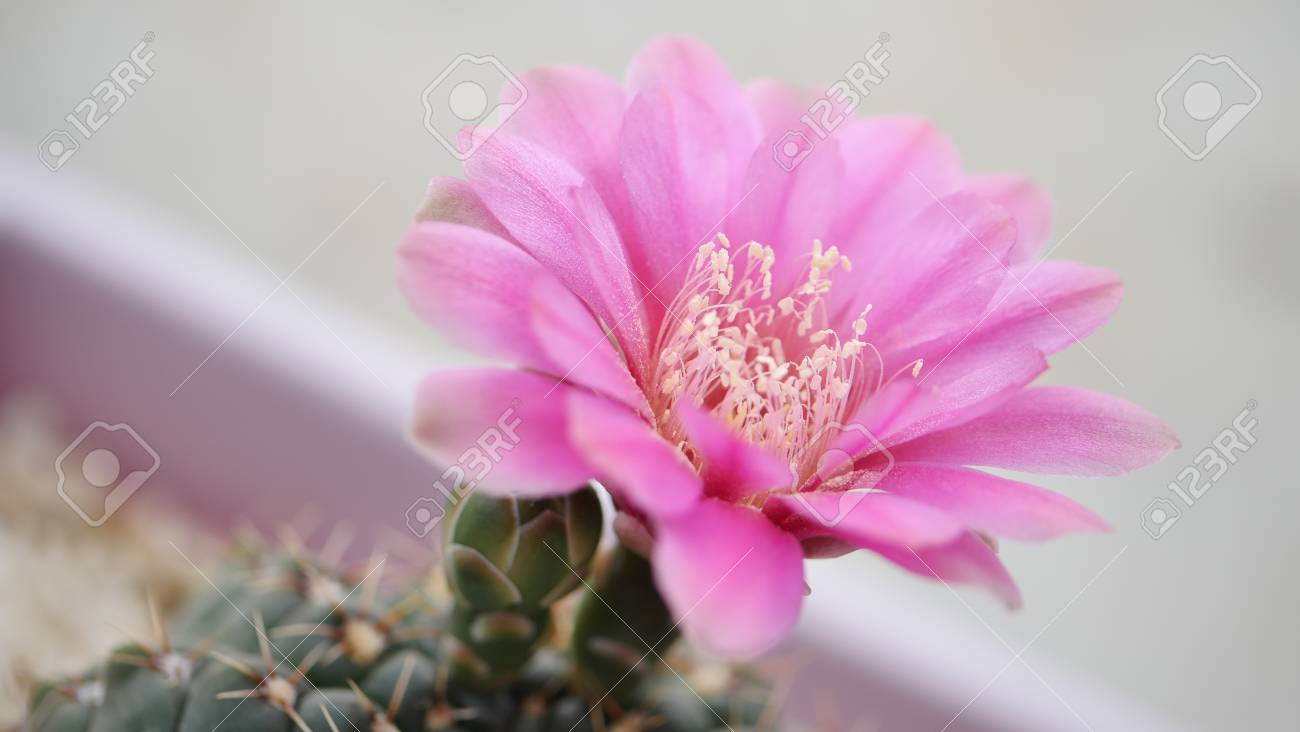 The pink cactus flower stock photo picture and royalty free image stock photo the pink cactus flower mightylinksfo