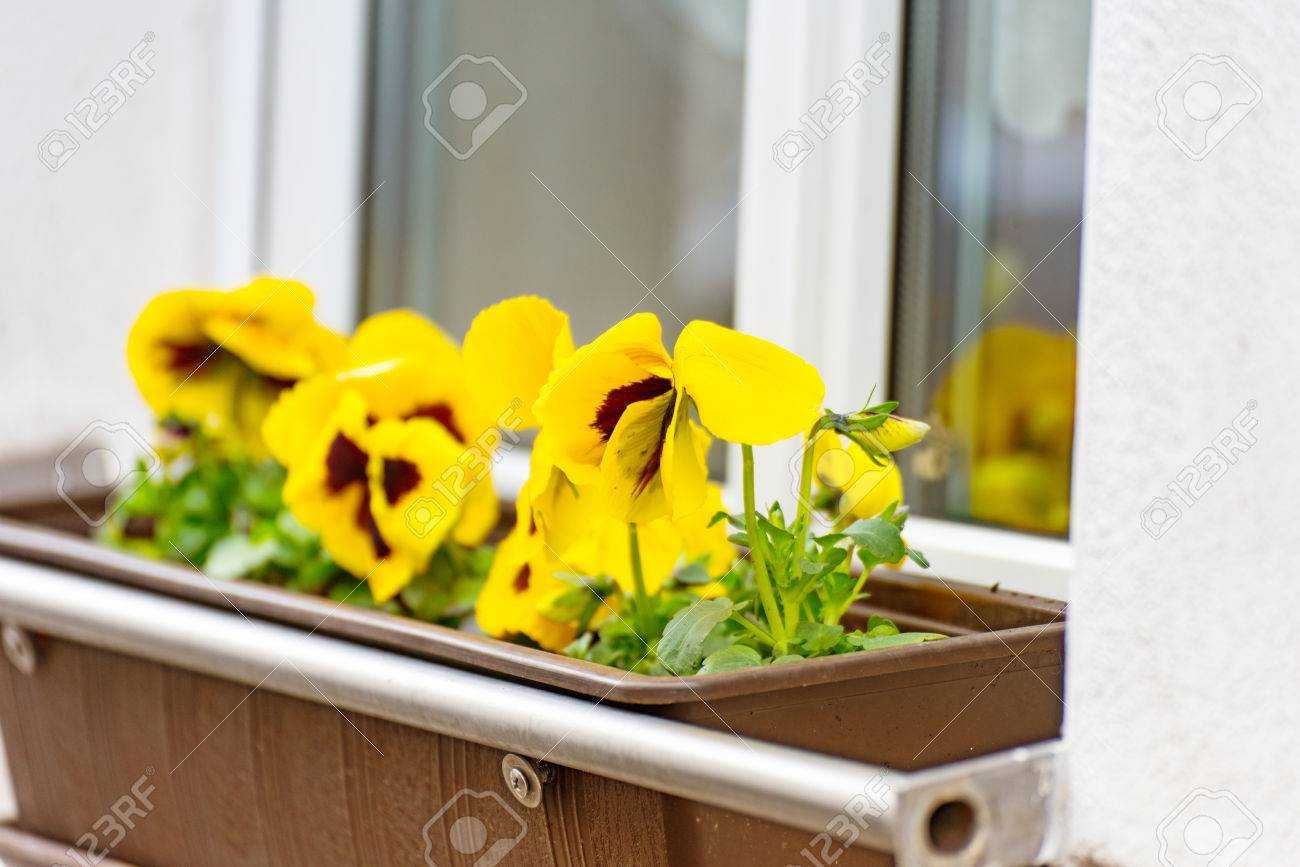 Some Yellow Pansies Flowers In A Flower Box On A Window Sill Stock