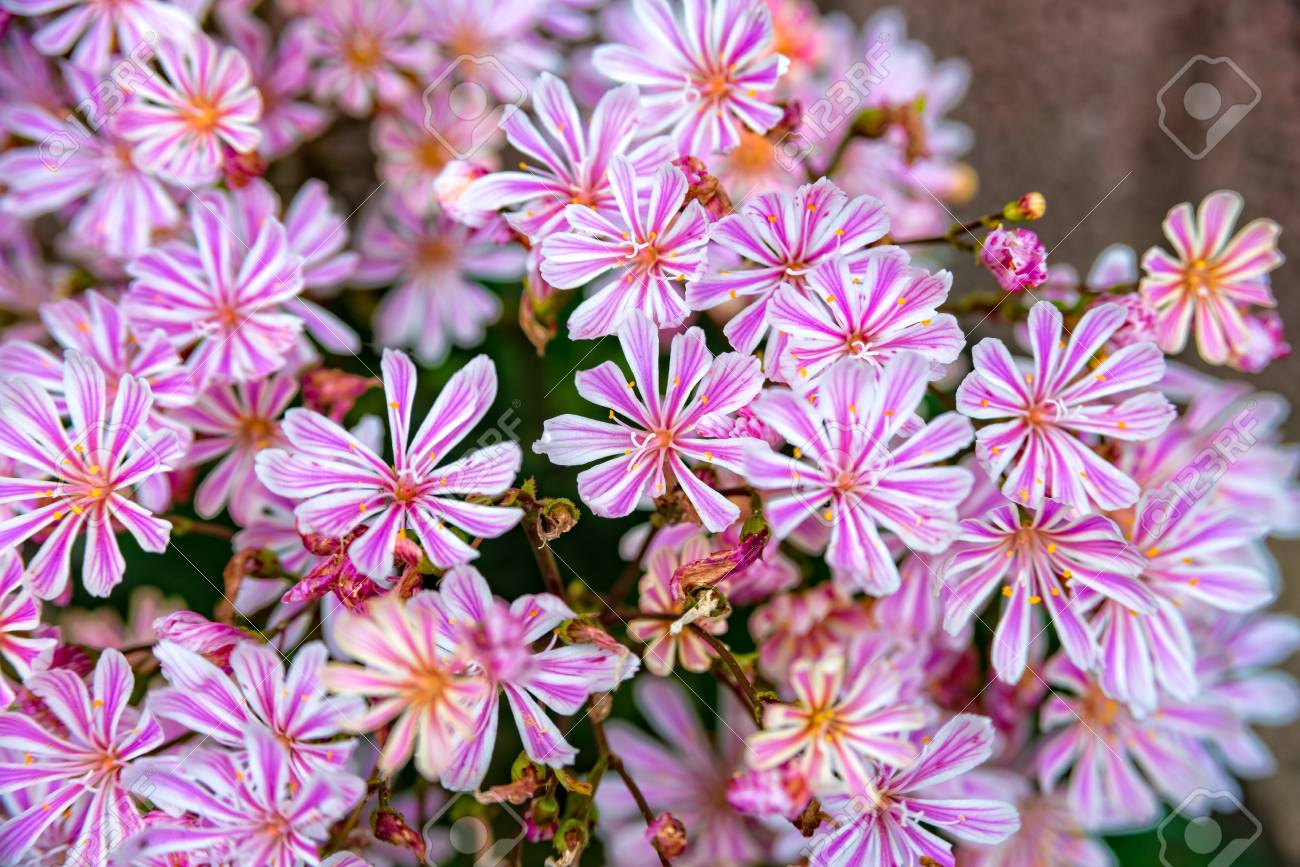 Some Little Pink Flowers At A Flower Bush Stock Photo Picture And