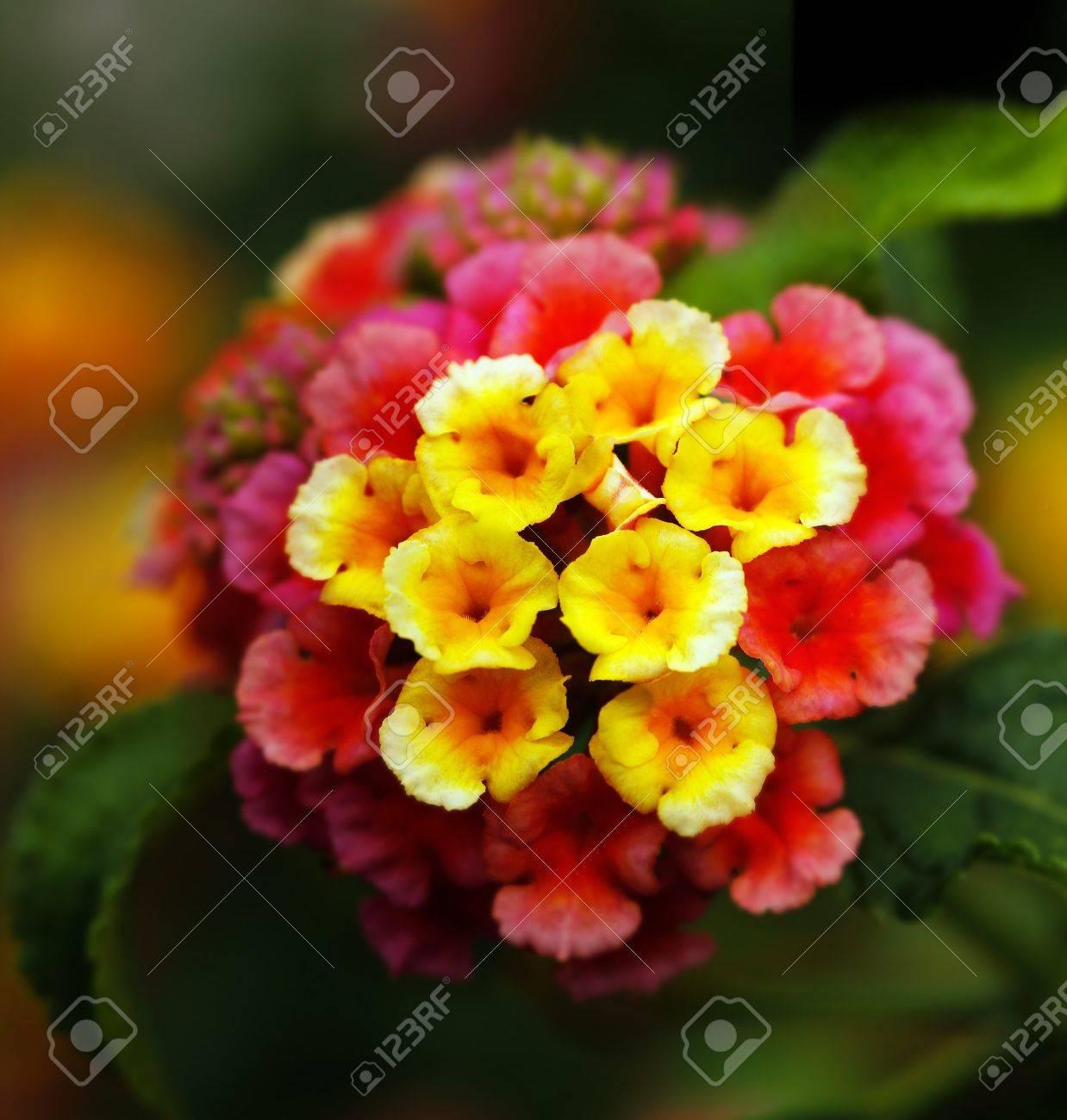 Closeup Of Multi Colored Lantana Flowers In Yellow, Orange, Red ...