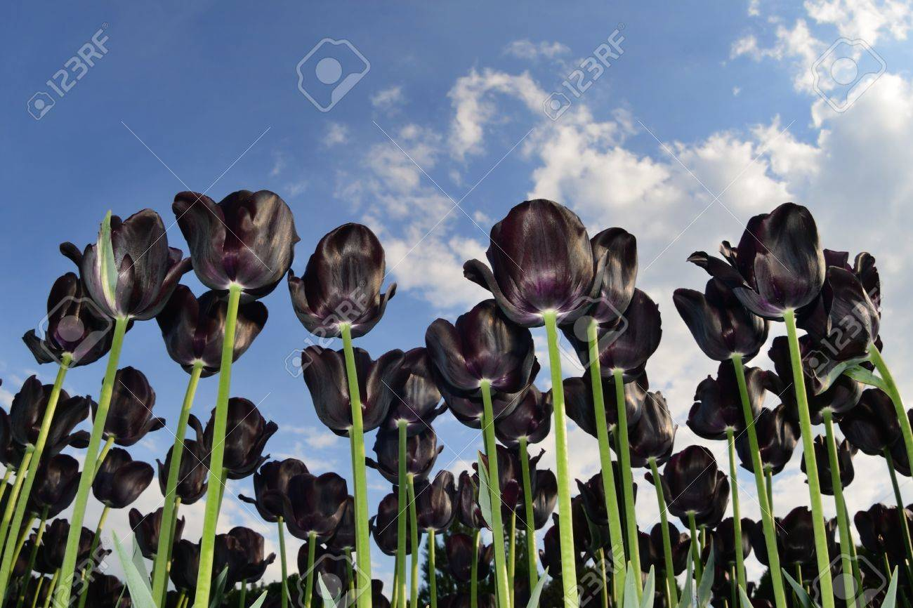 Beautiful black tulips against blue sky with clouds Stock Photo - 9585967