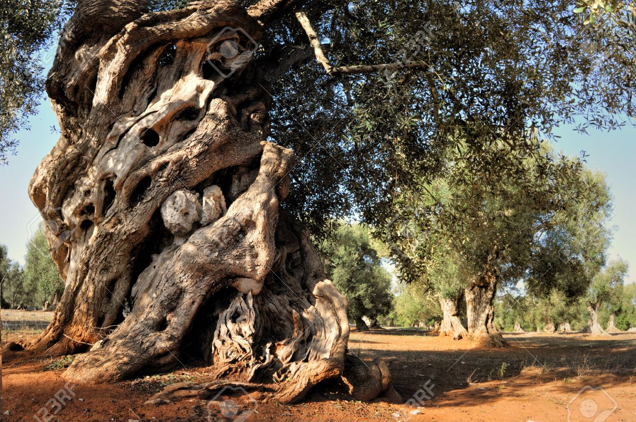 Olive Grove Stock Photos. Royalty Free Olive Grove Images