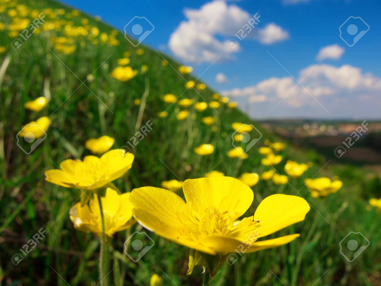 Wild yellow flowers on a grassy slope macro shot stock photo stock photo wild yellow flowers on a grassy slope macro shot mightylinksfo