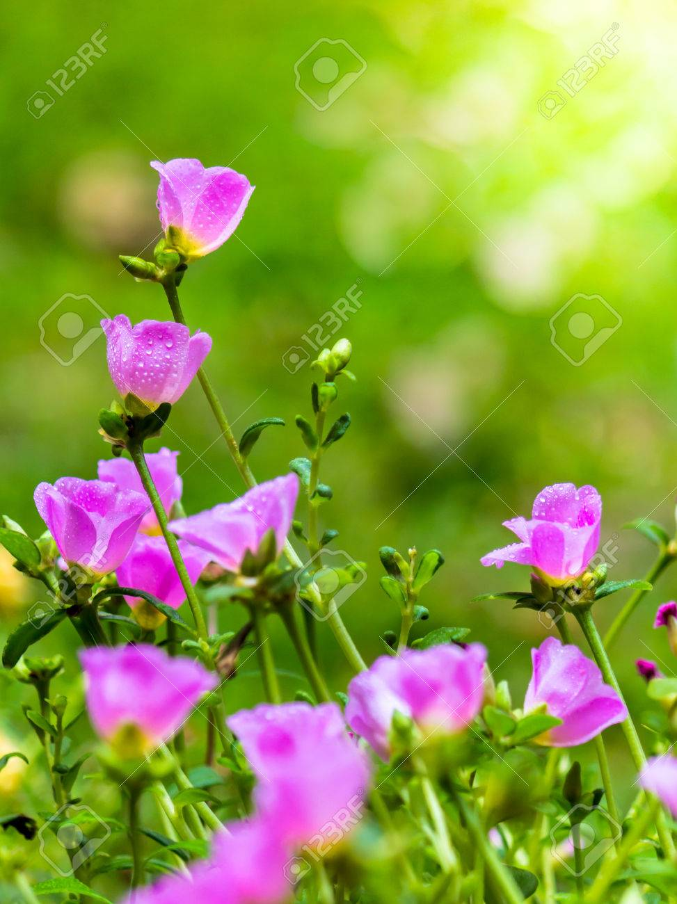 Beautiful Pink Moss Rose Purslane Portulaca Grandiflora Family