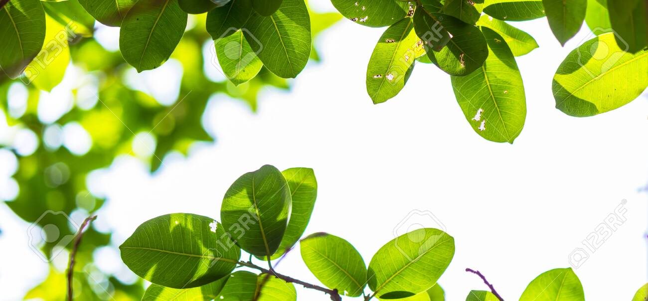 Backlit tree leaves in home flower garden on sunny day with white background. - 135202413