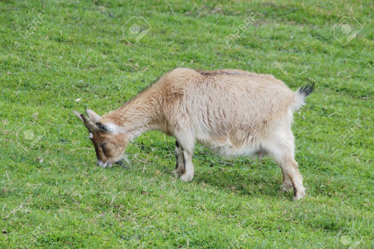 A Domestic Alpine Goat Known For Its Excellent Milk Quality