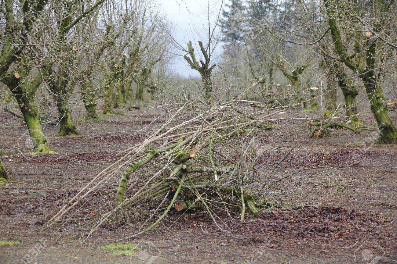 Hazelnut Trees Have Been Pruned In Preparation For The Spring