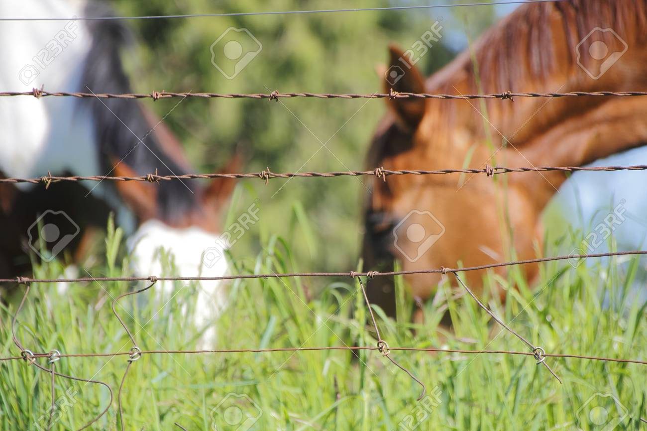 A Barbed Wire Fence Is Used To Keep Horses In Their Pasture. Stock ...