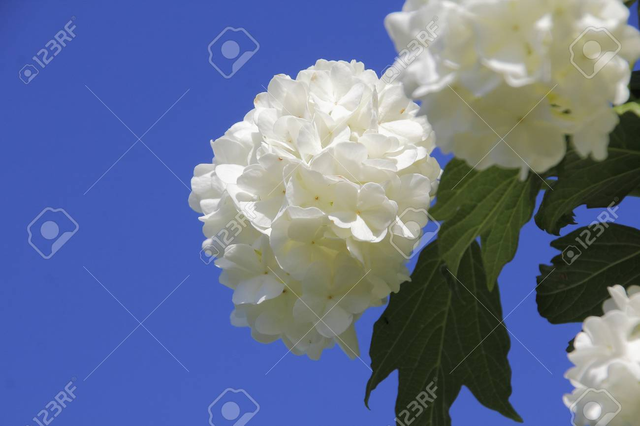 A snowball bush viburnum is a shrub that grows large clusters a snowball bush viburnum is a shrub that grows large clusters of white flowers in late mightylinksfo