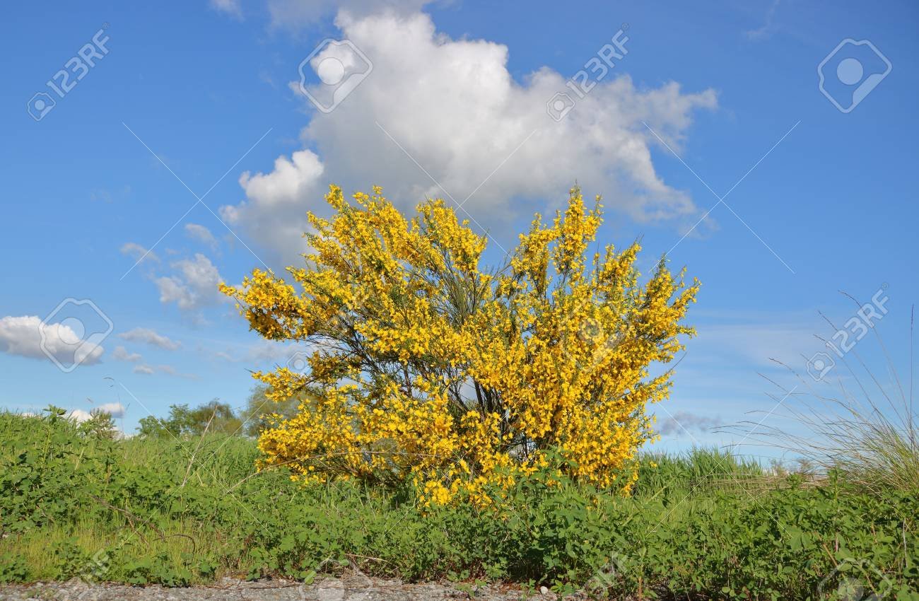 Arbusto Fiori Gialli Primaverili.Arbusto Fiori Gialli Primaverili