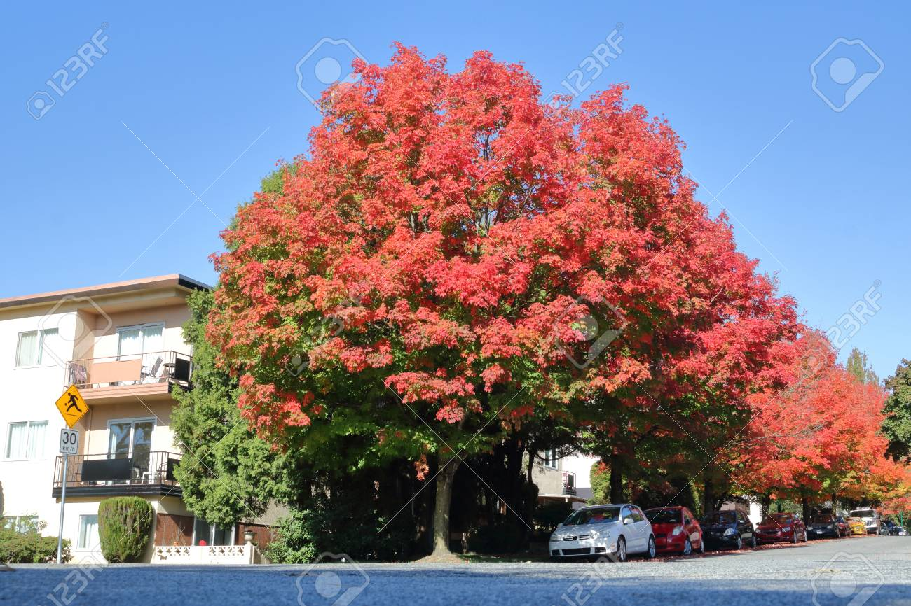 Dark Crimson Red Maple Trees Line The Streets During The Late