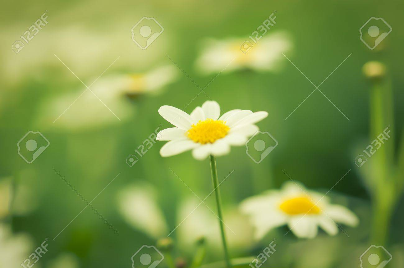 Daisies white flower in garden with nature light Stock Photo - 11783527
