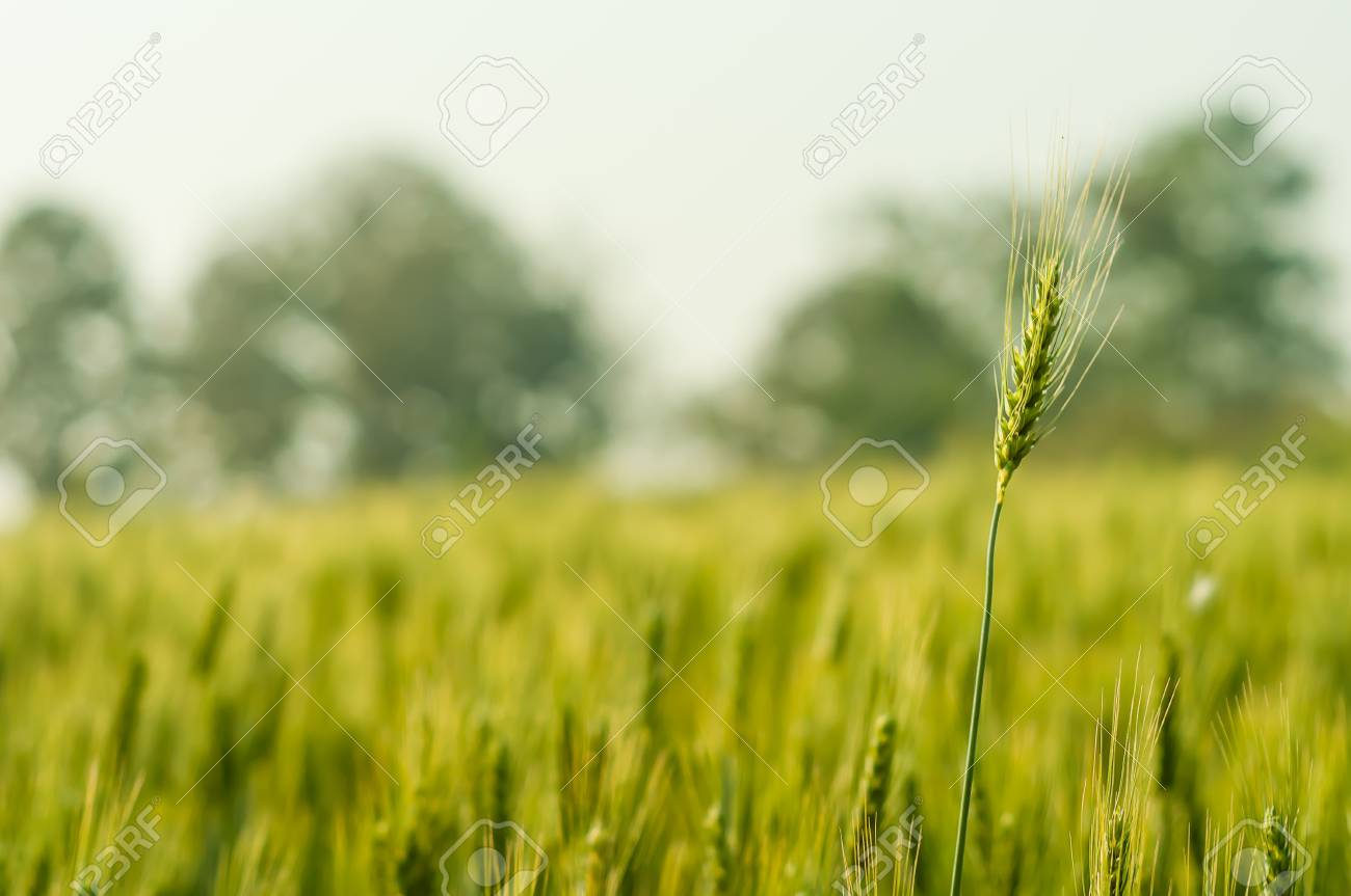 wheat barley in farm with nature light Stock Photo - 13913615