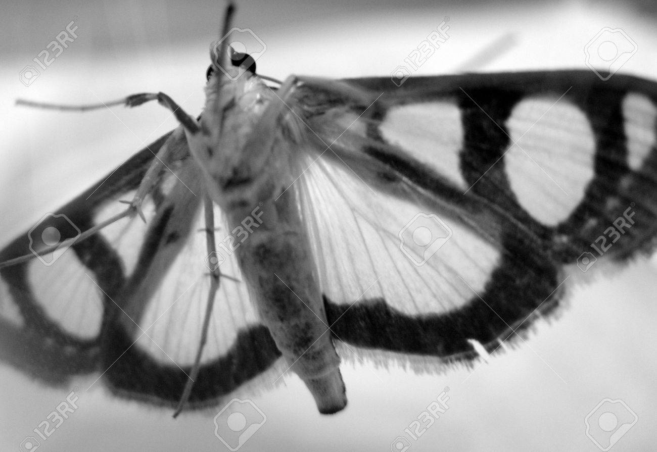 a moth with beautiful wings trapped in a glass case Stock Photo - 6276962