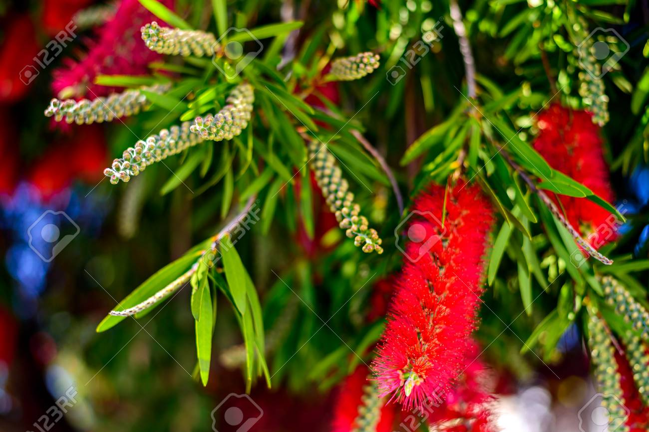 Red Bottlebrush Tree Flowers Blooming With Flower Buds On A Bright