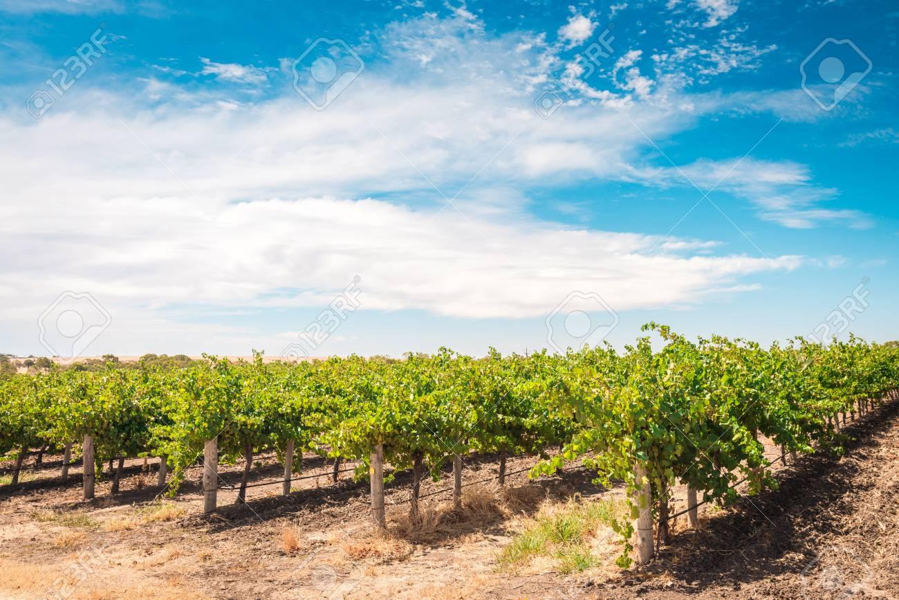 Champ De Vigne champ de vigne dans la vallée de barossa, australie du sud banque d