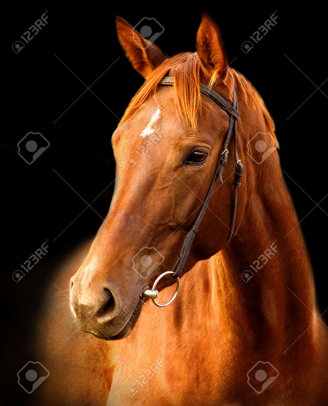 Portrait of red horse Trakehner on a black background - 158467589