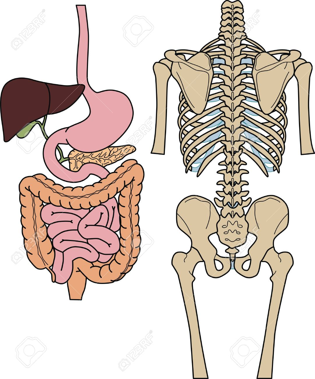 Internal of digestion and skeleton of the person Stock Vector - 10942643