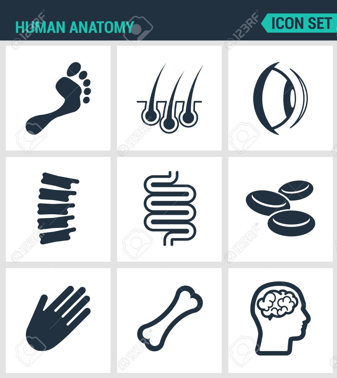 Reihe Von Modernen Vektor-Icons. Anatomie Des Menschen Bein, Haare ...