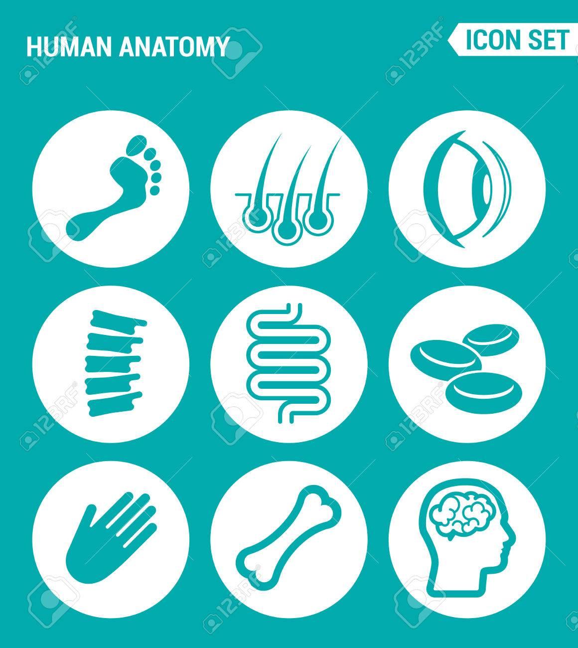 Conjunto De Vectores Iconos De La Web. Anatomía Humana, La Pierna ...