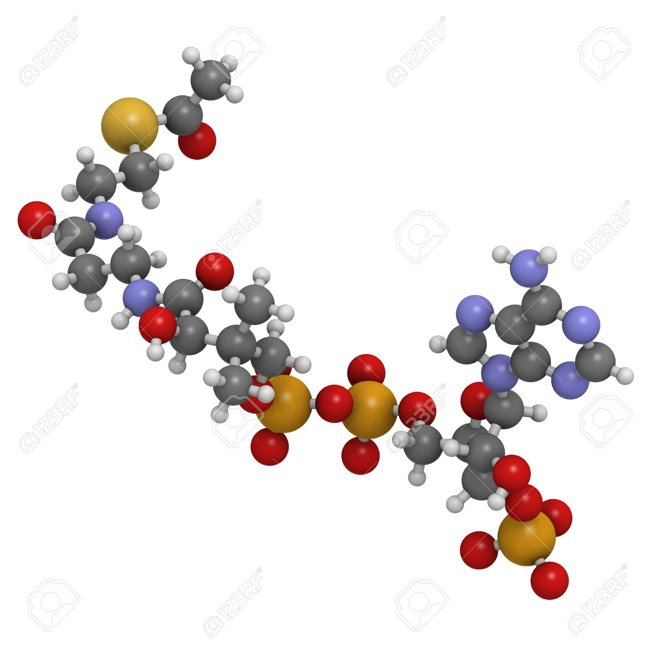 アセチル補酵素 (アセチル Coa) ...