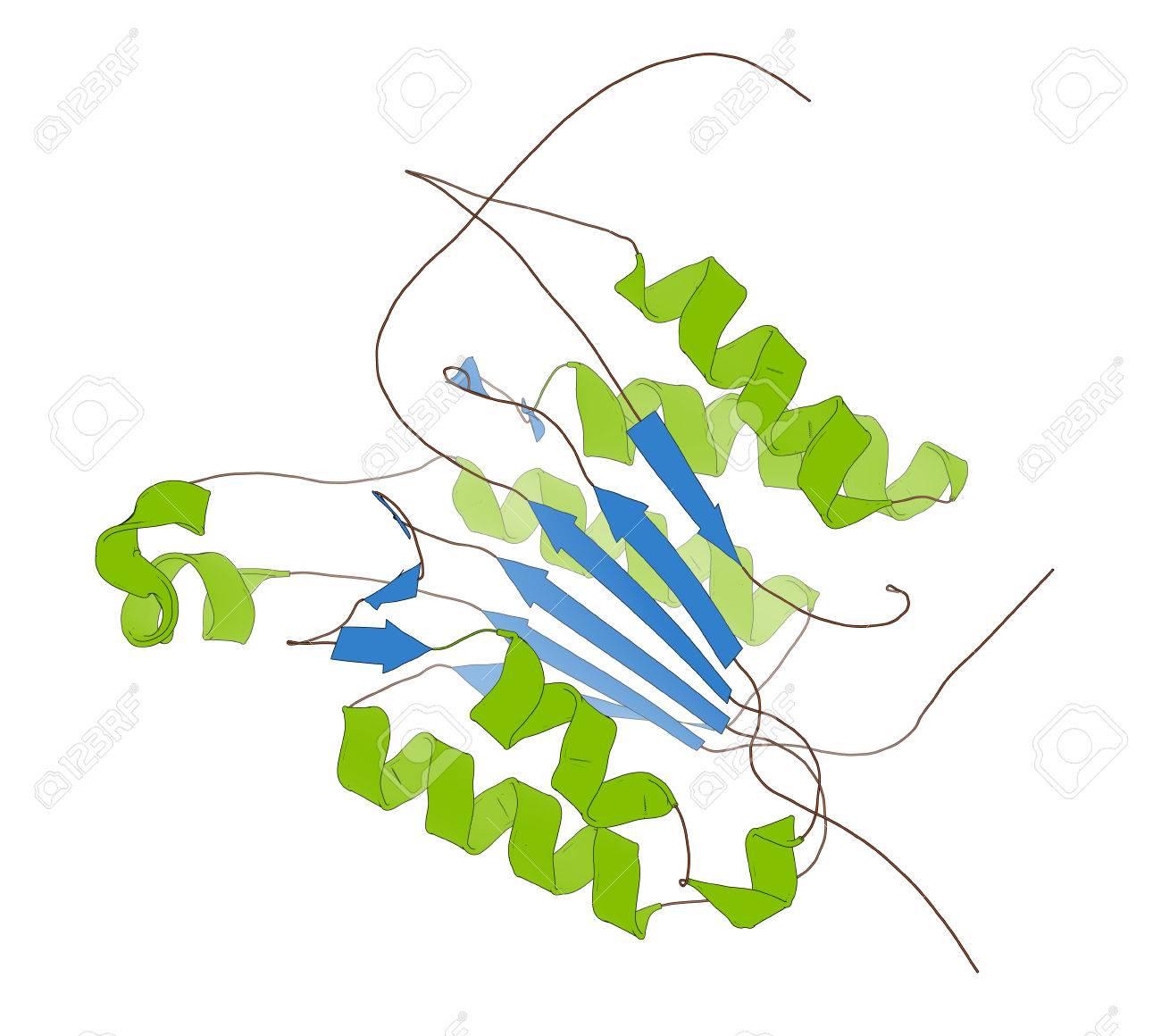カスパーゼ 3 アポトーシス蛋白...