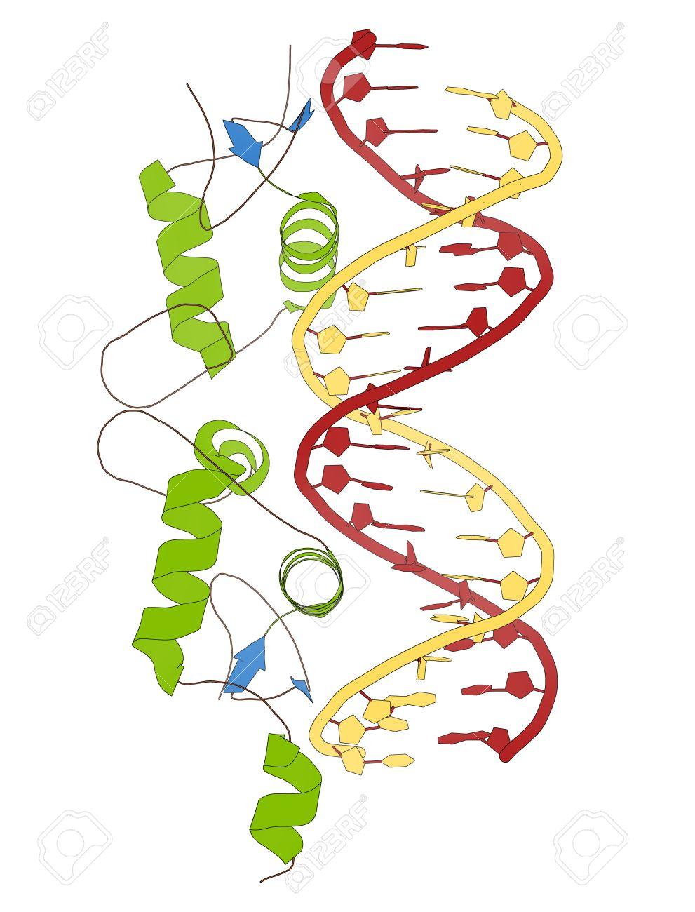 Receptor De Glucocorticoides Dominio De Unión A Adn Unido A Una Doble Cadena De Adn Modelo De La Historieta La Estructura Secundaria Para Colorear
