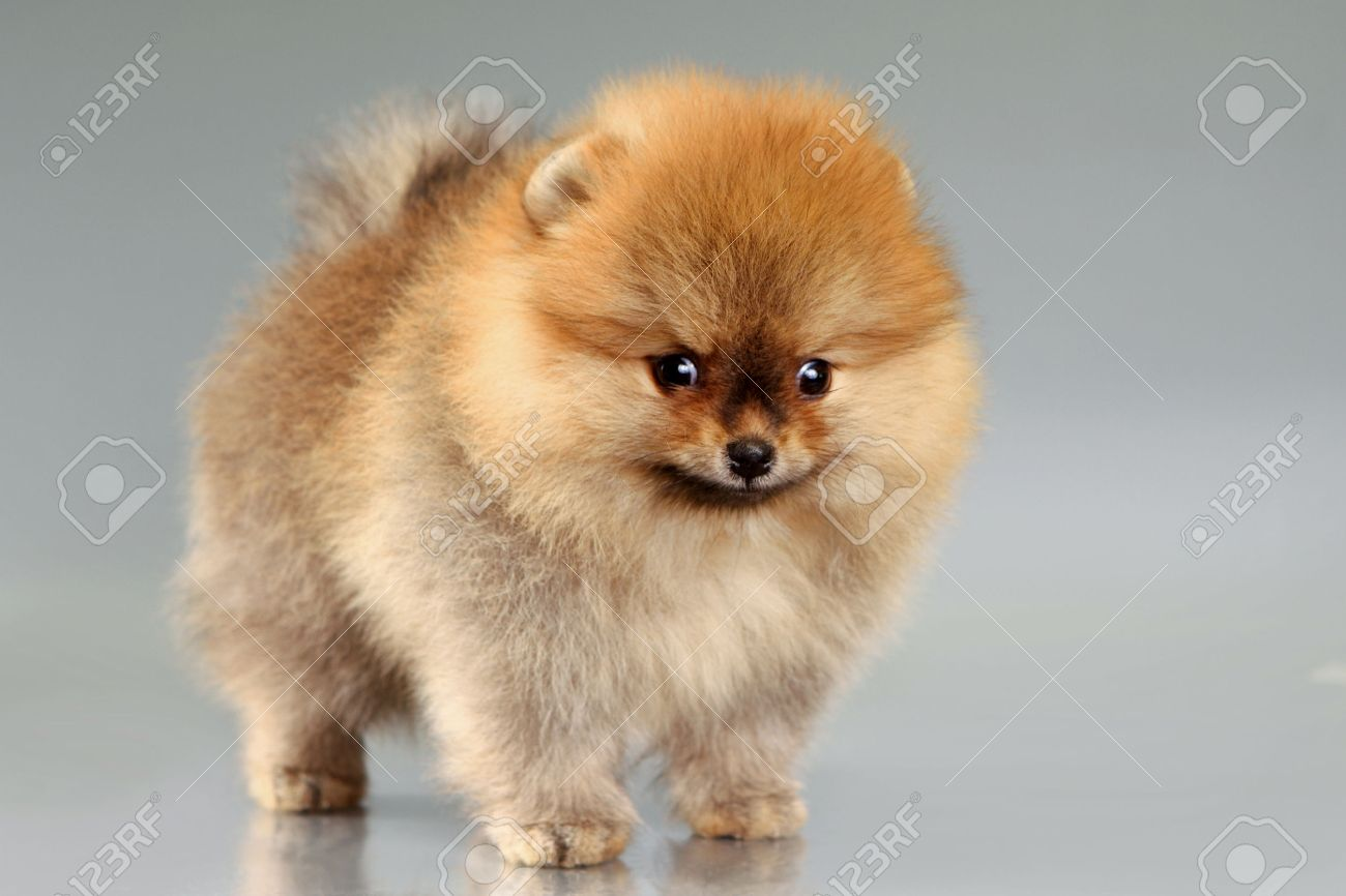 Small Cute Pomeranian Puppy Gray Background Stock