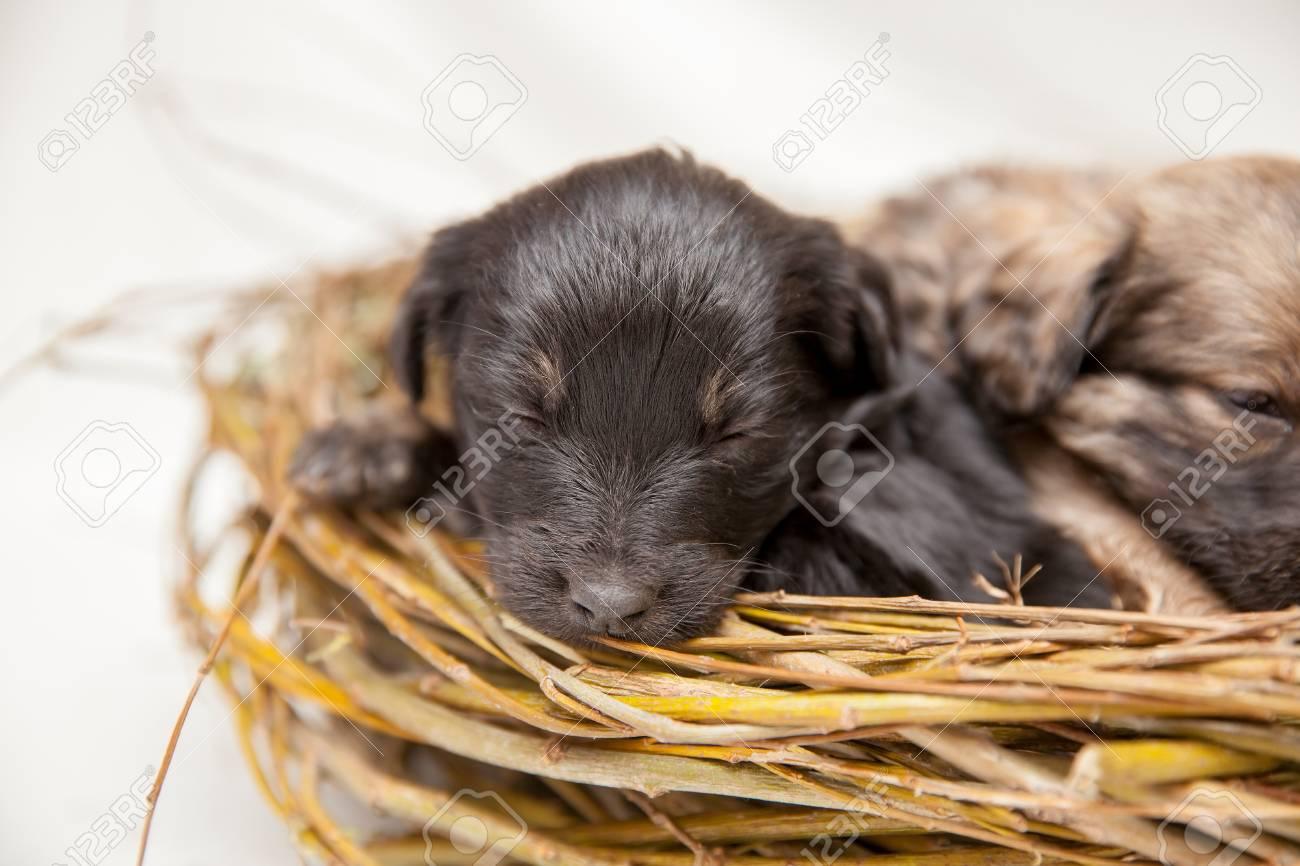 cute sleeping newborn little puppies lying in straw nest stock photo